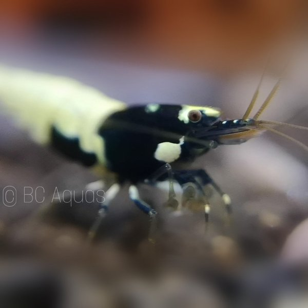 Shadow Bees - Spotted Head Pinto Mischer Black - DNZ