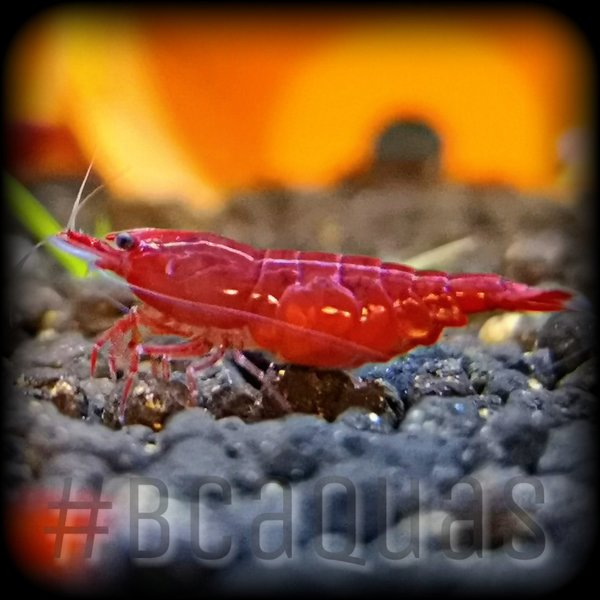 Neocaridina - Bloody Mary - DNZ