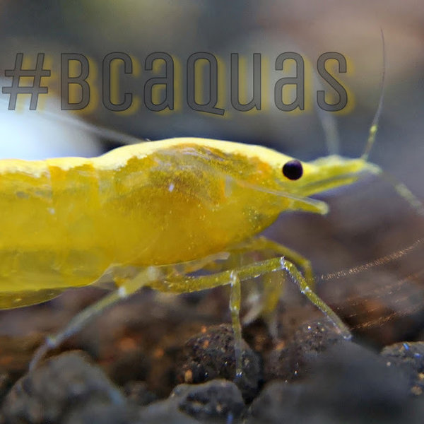 Neocaridina - Yellow Fire Neon Stripe - DNZ