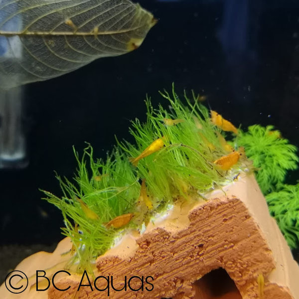 Neocaridina - Orange Sakura - DNZ